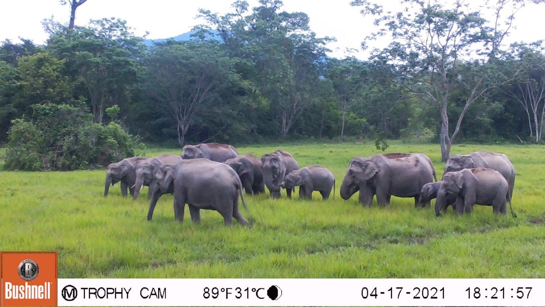 A_Royal_Elixir_to_Strengthen_Wild_Elephants_1